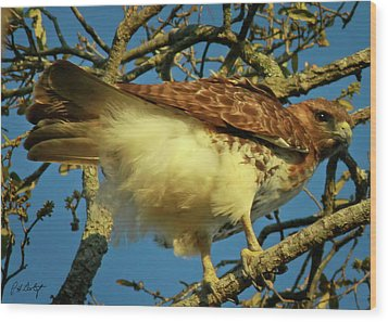 Young Red-tail Wood Print by Phill Doherty