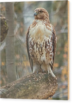 Young Red Tailed Hawk  Wood Print
