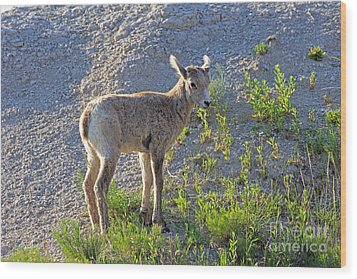 Young Rocky Mountain Bighorn Sheep Wood Print by Louise Heusinkveld
