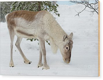 Wood Print featuring the photograph Young Rudolf by Delphimages Photo Creations