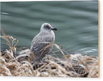Young Seagull Wood Print by Nick Gustafson