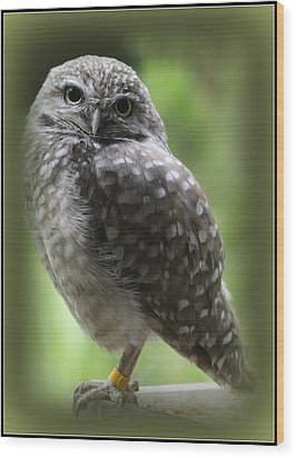 Young Snowy Owl Wood Print