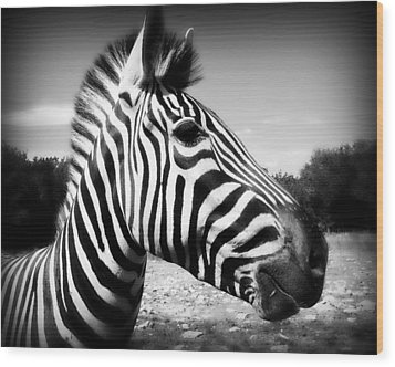 Zebra 2 Wood Print by Perry Webster