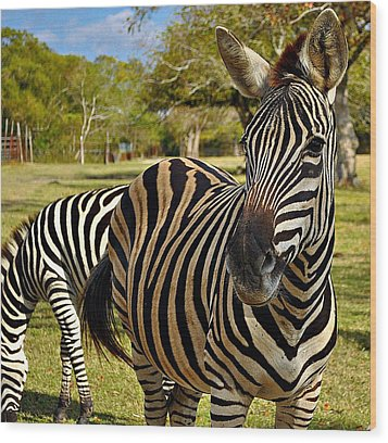 Wood Print featuring the photograph Zebra by John Collins