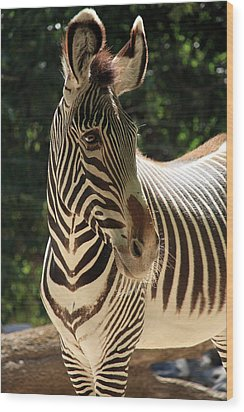 Zebra Portrait Wood Print by Aidan Moran