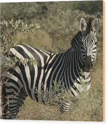 Zebra Portrait Wood Print