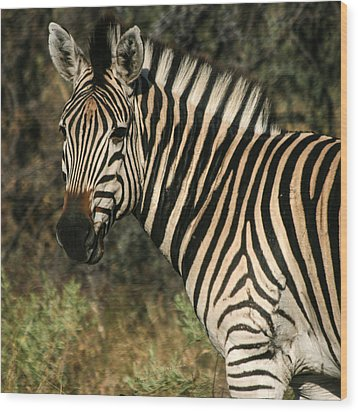 Zebra Watching Sq Wood Print