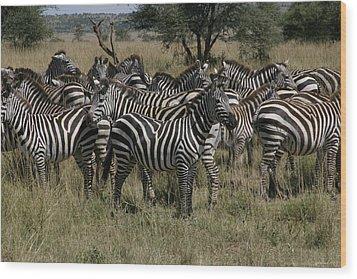 Zebra Zebra Zebra Wood Print