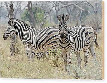 Zebras Wood Print by Robert Shard