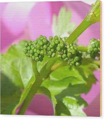#zinfandel #wine #grapes Baby Buds Wood Print