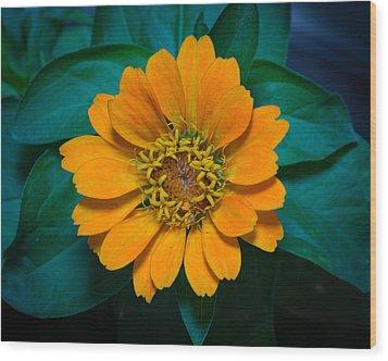 Zinnia Hybrida Wood Print