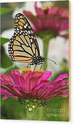 Zinnia Rose And Monarch Wood Print by Steve Augustin