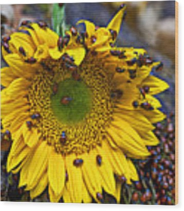 Sunflower Covered In Ladybugs Wood Print
