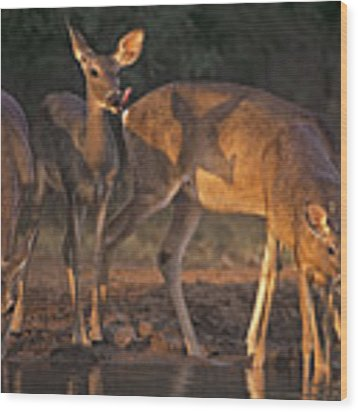 Whitetail Deer At Waterhole Texas Wood Print by Dave Welling