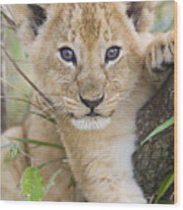 African Lion Cub Kenya Wood Print by Suzi Eszterhas