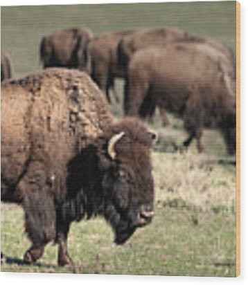 American Bison 5 Wood Print by James Sage
