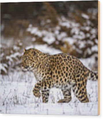 Amur Leopard Walks In A Snowy Forest Wood Print by Gavin Baker