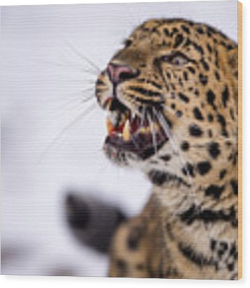 Amur Leopard With A Bloody Smile Wood Print by Gavin Baker