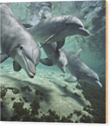 Four Bottlenose Dolphins Hawaii Wood Print by Flip Nicklin