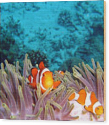 Clown Fishes Wood Print