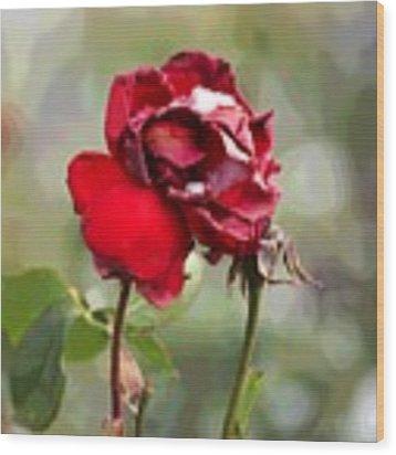 December Rose #12 Wood Print by Brian Gryphon