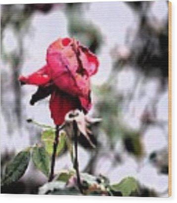 December Rose #16 Wood Print by Brian Gryphon