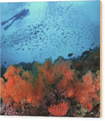 Diver And Soft Corals In Pescador Island Wood Print