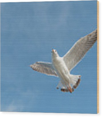 Flying Seagull Wood Print by Pradeep Raja PRINTS