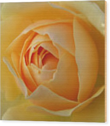 Graham Thomas Old Fashioned Rose Wood Print by Jocelyn Friis