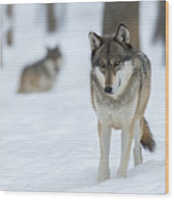 Grey Wolf In Snow With Wolf In Distance Wood Print by Dan Friend