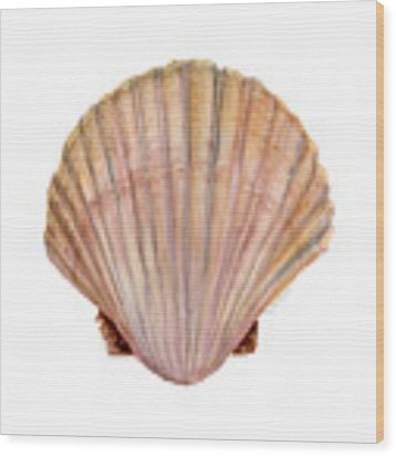 Scallop Shell Wood Print by Amy Kirkpatrick