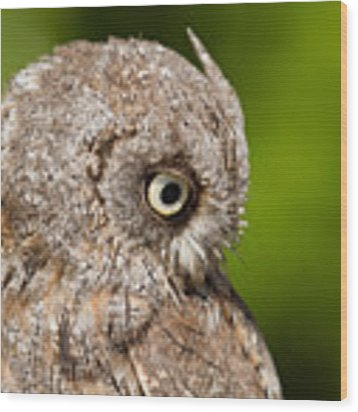 Screech Owl Portrait Wood Print