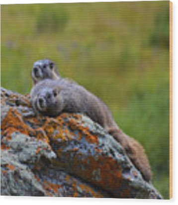 Sunbathing Marmots Wood Print by Kate Avery