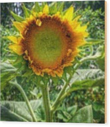 Sunflower In Mocksville Wood Print by Ben Shields