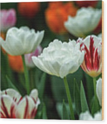 Tulip Flowers Wood Print by Pradeep Raja Prints