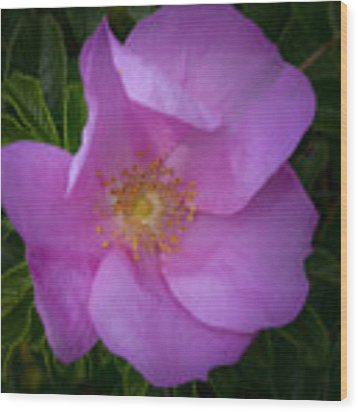 Wild Rose Wood Print by Garvin Hunter