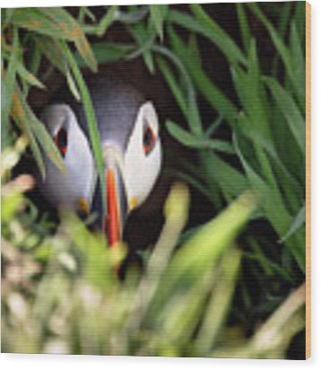 Atlantic Puffin In Burrow Wood Print by Elliott Coleman