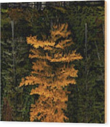 Autumn Tamarack  Wood Print by Doug Gibbons