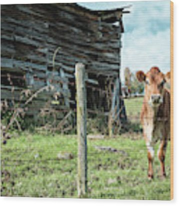 Cow By The Old Barn, Earlville Ny Wood Print by Gary Heller