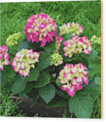 Decorative Floral Pink Hydrangeas C031619 Wood Print by Mas Art Studio