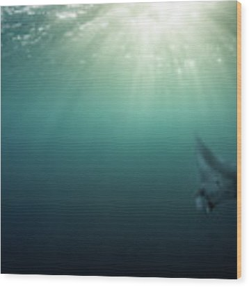 Giant Manta Ray Wood Print by Nicole Young