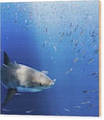 Great White Shark Wood Print by Nicole Young
