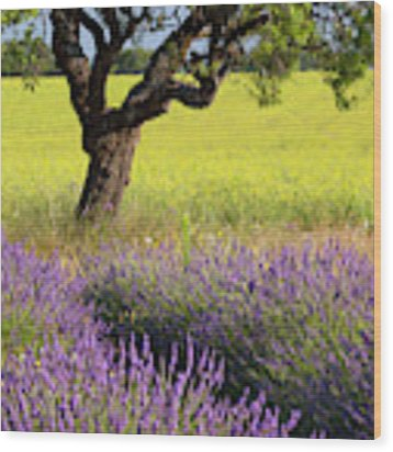 Lone Tree In Lavender And Mustard Fields Wood Print by Brian Jannsen