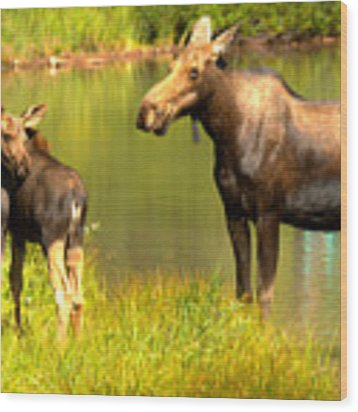 Many Glacier Cow And Calf Moose Wood Print by Adam Jewell