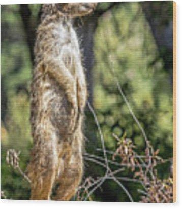 Meerkat Alert Wood Print by Kate Brown