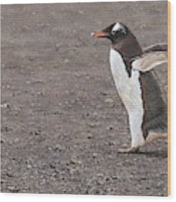 Quick Hurry - Gentoo Penguin By Alan M Hunt Wood Print by Alan M Hunt