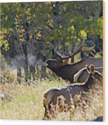 Rocky Mountain Bull Elk Bugeling Wood Print by Nathan Bush