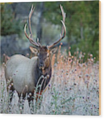 Rocky Mountain Wildlife Bull Elk Sunrise Wood Print by Nathan Bush