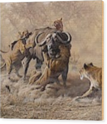 The Take Down - Lions Attacking Cape Buffalo Wood Print by Alan M Hunt