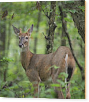 Young White-tailed Deer, Odocoileus Virginianus, With Velvet Antlers Wood Print by William Dickman